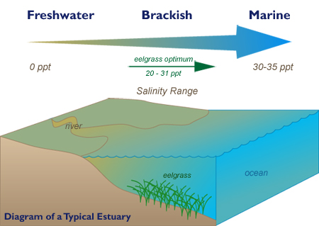 Cornell cooperative extension eelgrass for Freshwater fishing long island